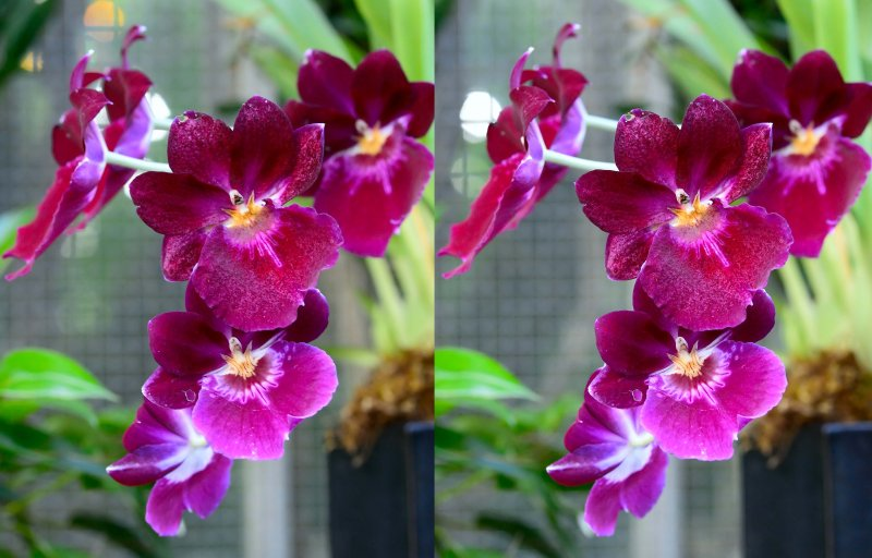 D4B_0225OrchidStereoPair2Crop1.jpg