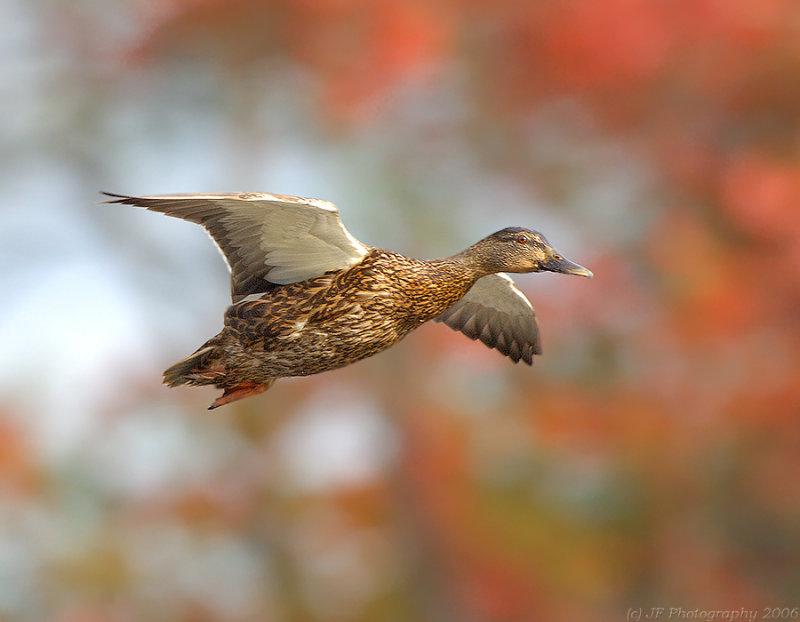 _JFF59801 Duck in Foliage.jpg