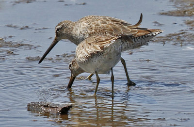 probable Short-billed Dowitchers, pre alternate