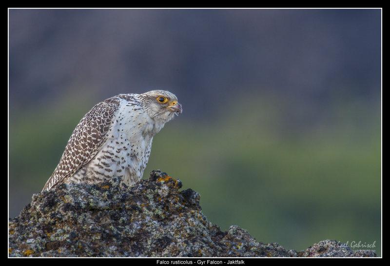 Gyr Falcon, Iceland