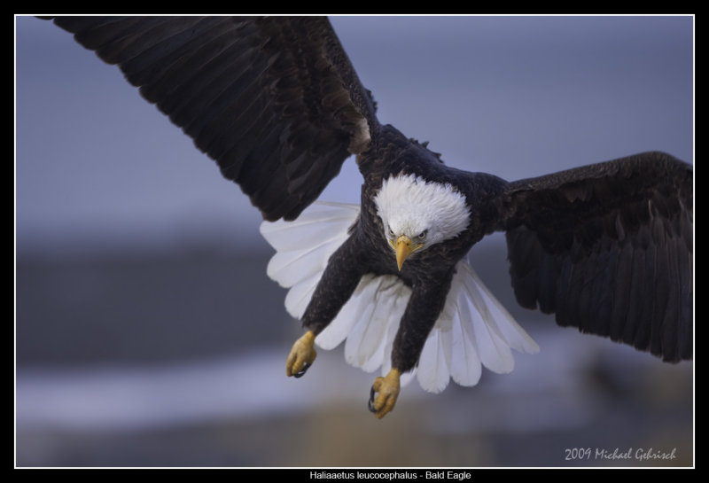 Bald Eagle, incoming...