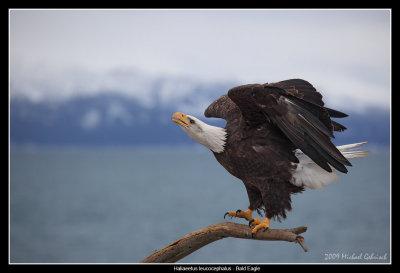 Bald Eagle vocalizing