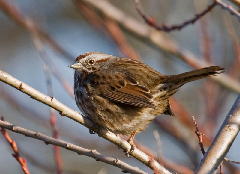 Rusty Song Sparrow ID