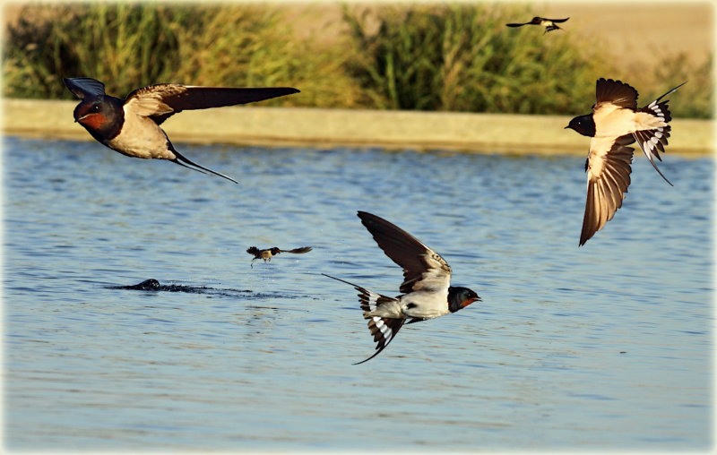 Barn Swallow Montage