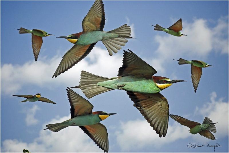European Bee-eaters Montage