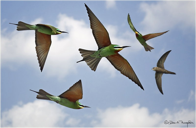 Blue Cheeked Bee Eater ontage