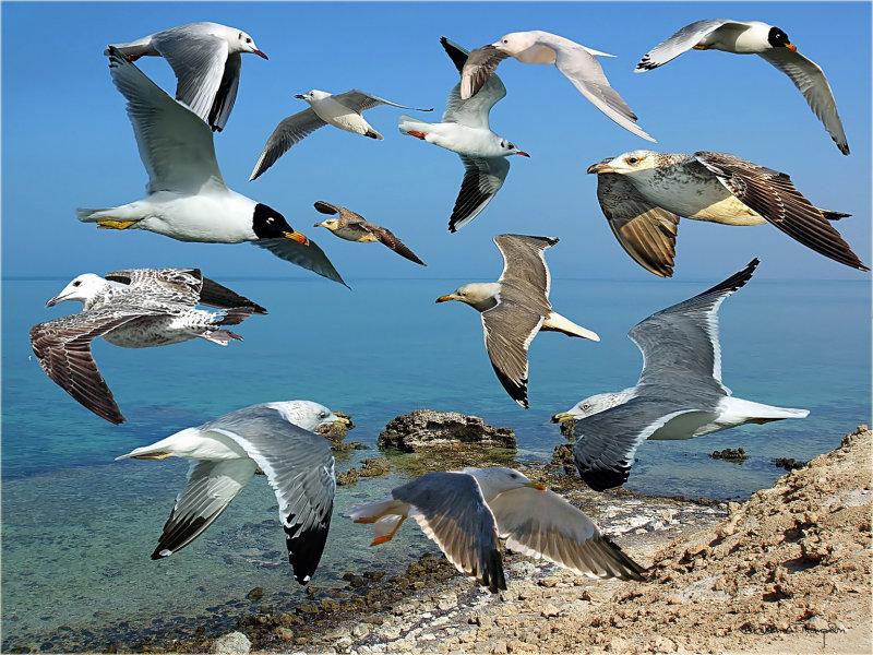 Gull Montage