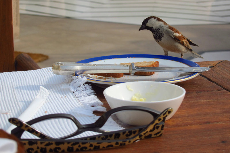 This bird wanted to share Glorias breakfast but dropped her toast and went away hungry.JPG