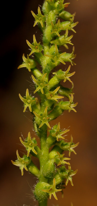 Holothrix villosa. Closer.