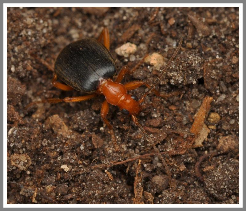 Bombardier Beetle (Brachinus sp.)