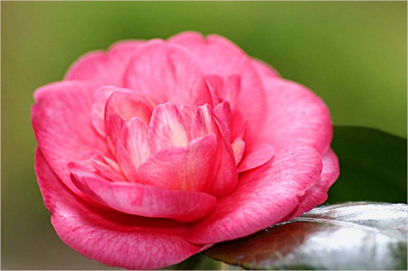 Camellia time down South...