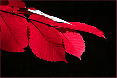 Elm leaves