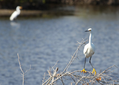 Snowy Egret with 'clown' feet.