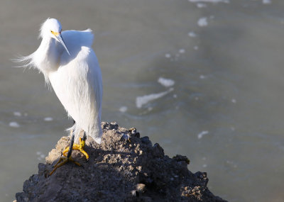 Snowy Egret - Ponce Inlet