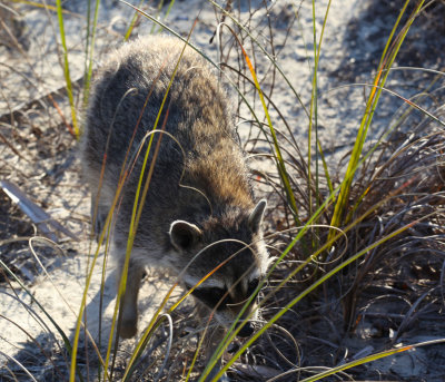 Raccoon Out Foraging - Ponce Inlet