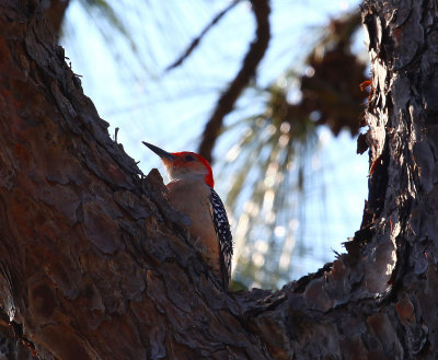 Red-Bellied Woodpecker, Wickham Park, Melbourne, Florida