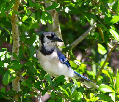 Blue Jay - Wickham Park
