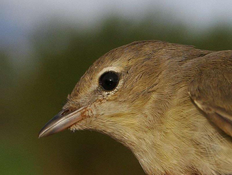 Garden Warbler (Sylvia borin)