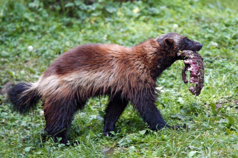 Wolverine (Järv)