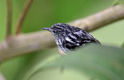 Myrmotherula pacifica male.jpg