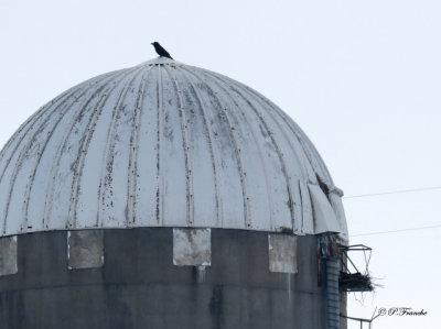 Grand Corbeau - Common Raven