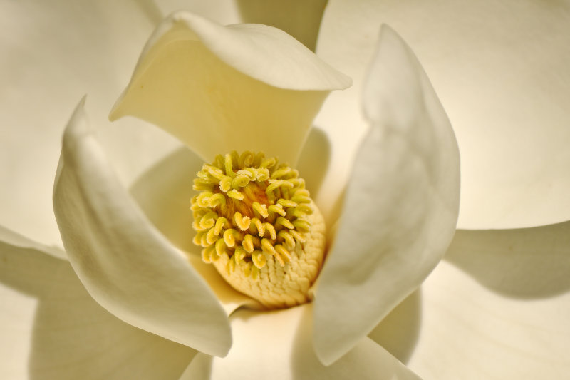 Magnolia, close-up