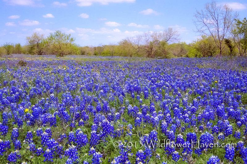 Meadow of Blue