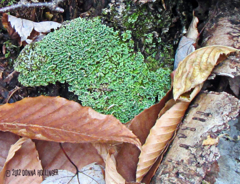 Textures: lichen and leaves