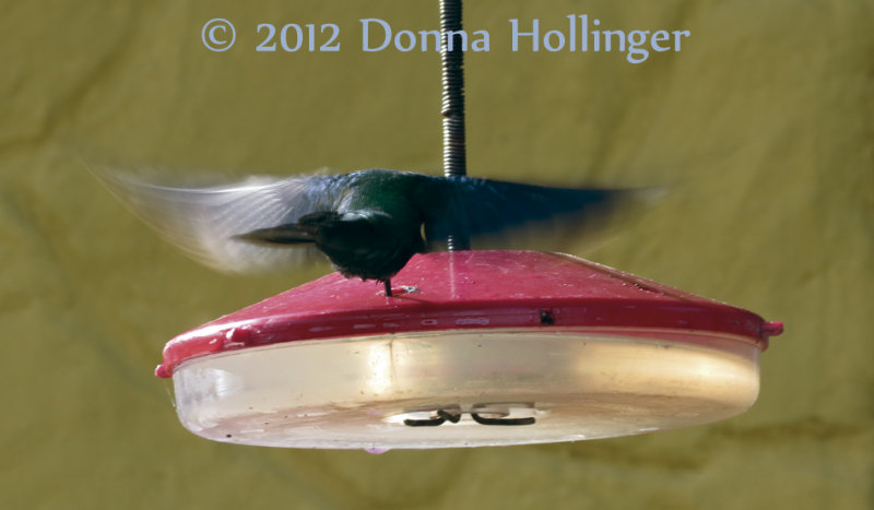 Hummer drinking nectar without landing
