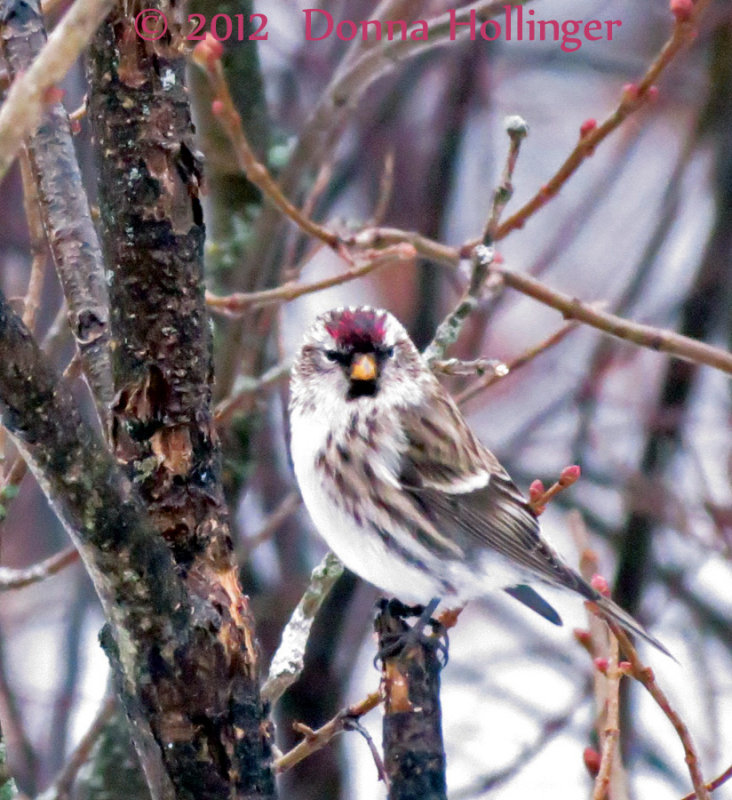 One Redpoll Visitor