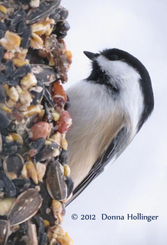Chicadee Eating nuts