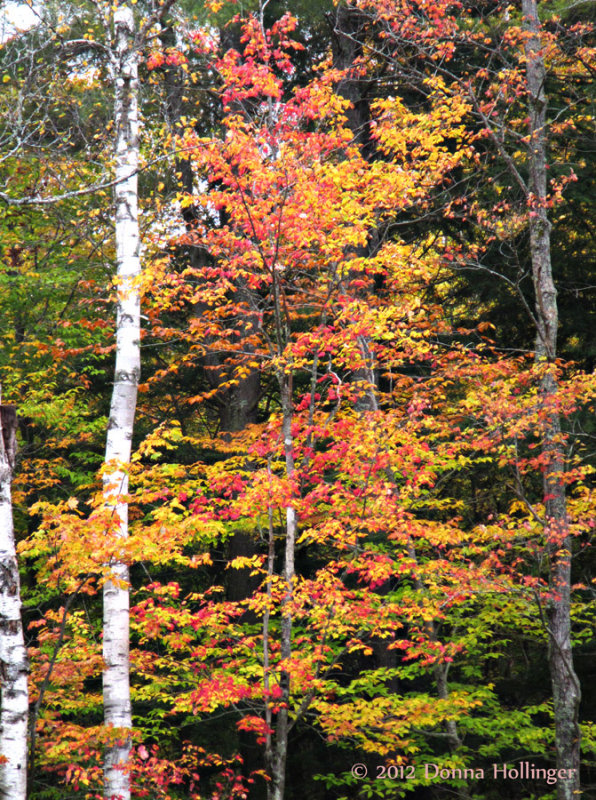 Maple and Birch Leaves