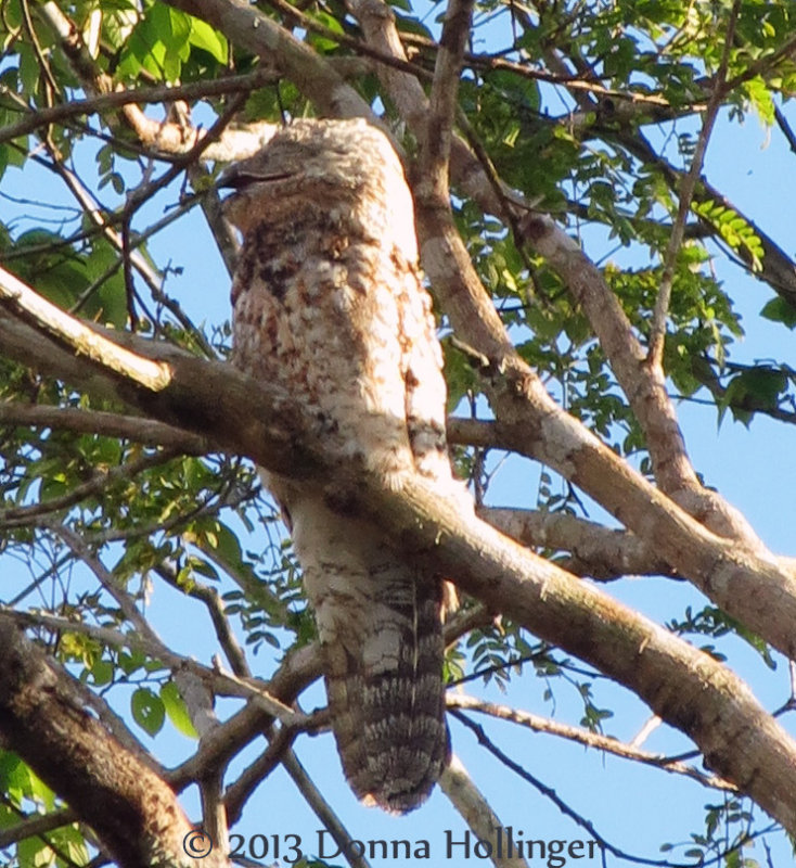 Great Potoo with Mouth Open