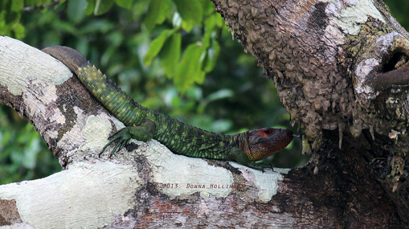 Caiman Lizard with a replacement tail