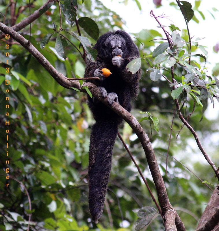 Monk Saki Monkey (Pithecia monachus)