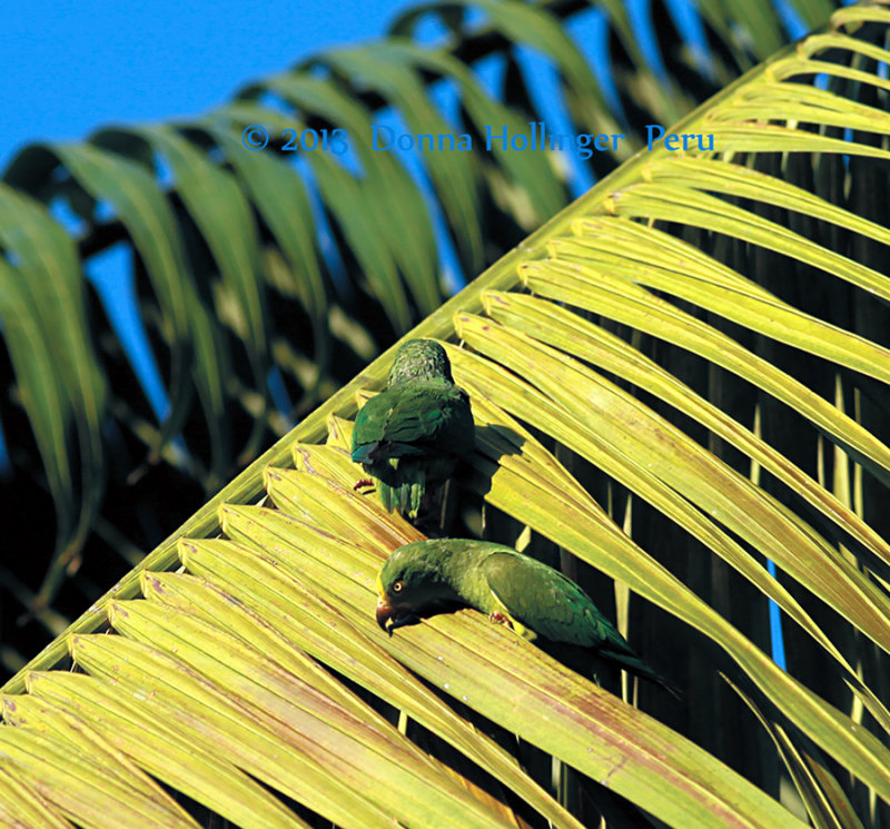 Parrots Eating Bugs on Palm Trees