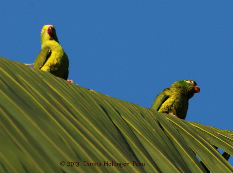 900.parrots.ceib.9448.jpg