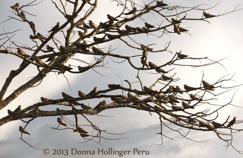 101 Nighthawks sleeping in a Tree