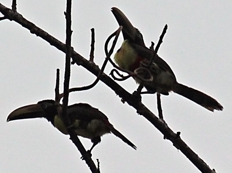 Two Aracaris in the rain