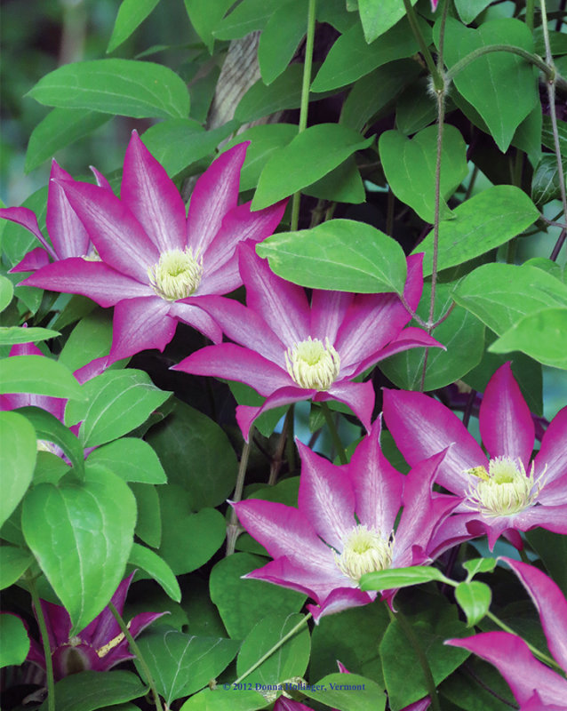 Wish i had a clematis like this one!