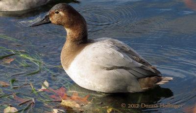 Immature Canvasback At Fresh Pond Reservoir