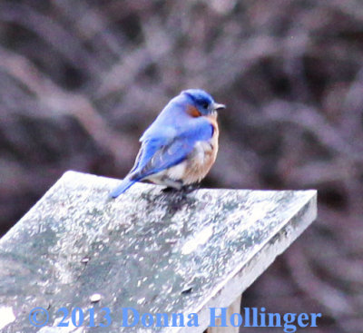 First Bluebird At Broadmoor Sanctuary