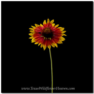 Texas Wildflower Portrait Project