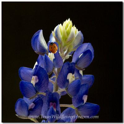 Texas Wildflowers - Bluebonnets and Ladybugs