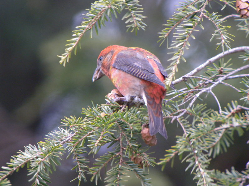 Red Crossbill male