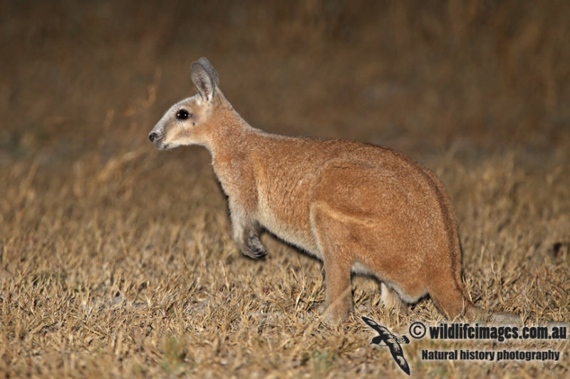 Northern Nailtail Wallaby a1439.jpg