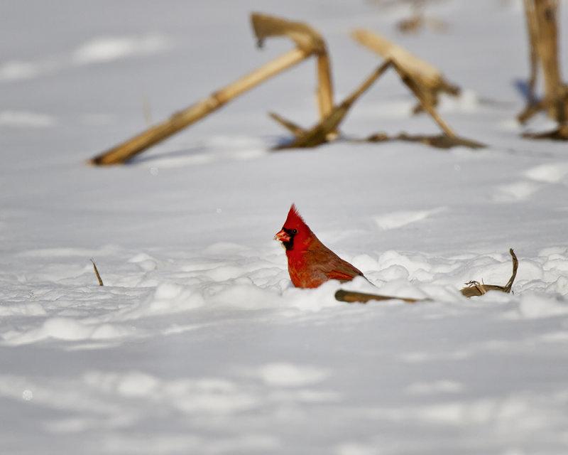 Cardinal Eating Corn IMG_3572.jpg