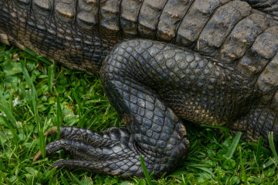 Reptile at rest, Everglades National Park, Florida, 2013