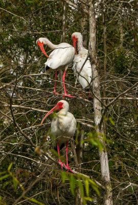 White Ibis, Big Cypress National Preserve, Florida, 2013