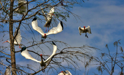 White Ibis in flight, Big Cypress National Preserve, Florida, 2013